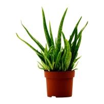 aloe-vera-potted-plant-aloe__0173210_pe327299_s4